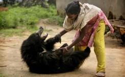 犬のように飼われるクマ